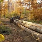 beech logs خشب الزان